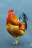 Portrait pet rooster Stock Image