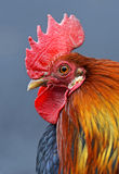 Portrait pet rooster Royalty Free Stock Images
