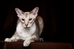 Portrait of Peterbald Sphynx Cat Curiosity Looks on Isolated Black background Stock Image
