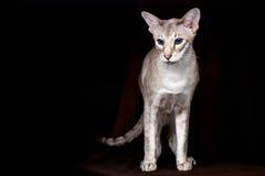 Portrait of Peterbald Sphynx Cat Curiosity Looks on Isolated Black background Stock Photos
