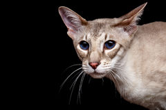 Portrait of Peterbald Sphynx Cat Curiosity Looks on Isolated Black background Royalty Free Stock Photo