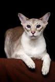 Portrait of Peterbald Sphynx Cat Curiosity Looks on Isolated Black background Stock Photo