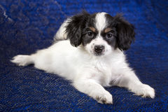 Portrait of a Phalene puppy Royalty Free Stock Photo