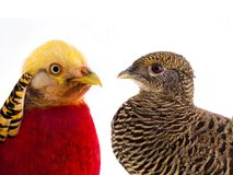 Portrait pheasant gold male and female royalty free stock photo