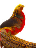 Portrait pheasant gold Royalty Free Stock Image