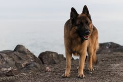 Portrait photo of the dog Ares. stock image