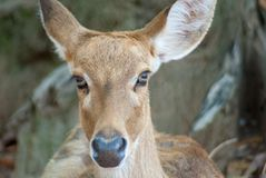 Portrait photo of female deer staring right to the camera. With blurred tree background Royalty Free Stock Images