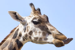 Portrait photo of the giraffe Stock Photos