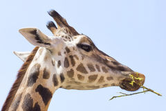 Portrait photo of the giraffe Royalty Free Stock Images