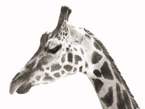 Portrait photo of the giraffe (monochrome) Royalty Free Stock Photography
