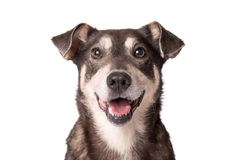 Free Portrait Photo Of An Adorable Mongrel Dog Isolated On White Royalty Free Stock Images - 105783499