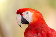 Portrait photo of a Scarlet Macaw Royalty Free Stock Photos