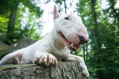 Portrait photo of white bull terrier lying on the tree bench in woods royalty free stock photography