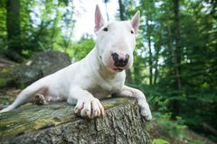 Portrait photo of white bull terrier lying on the tree bench in woods royalty free stock photo