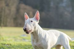 Portrait photo of white bull terrier outdoors on a sunny day stock photo