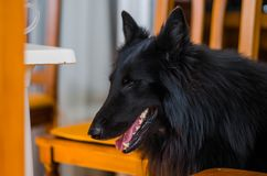 Portrait photograph of a Belgian shepherd sticking his head out the door of the living room of the house. stock images
