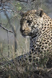 Portrait photograph of male leopard Royalty Free Stock Photo
