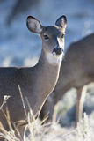 Portrait photograph of Whitetail doe Royalty Free Stock Photography