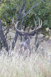 Portrait photograph of a wide spread whitetail buck looking over field Royalty Free Stock Photo