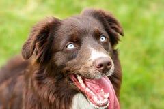 Australian shepherd dog with blue eyes stock photos