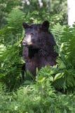 Portrait Picture of Black Bear. Black Bear in green ferns in portrait shot in vertical image Stock Images
