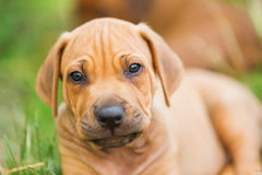 Portrait of a Rhodesian Ridgeback puppy Stock Images