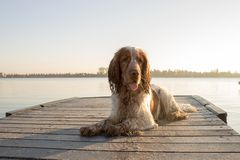 English cocker portrait on a peer next to a lake royalty free stock photos