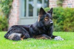 Portrait of an Old German Shepherd who lies in the garden. Portrait picture of an Old German Shepherd dog who lies in the garden Royalty Free Stock Photo