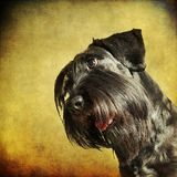 Portrait of a standard schnauzer with textured background Royalty Free Stock Images