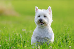 Portrait of a West Highland Terrier. Portrait picture of a West Highland Terrier on the meadow stock image