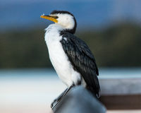 Portrait pie de cormoran dans l'Australie du sud Photos stock
