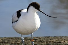 Pied avocet. Portrait of pied avocet standing by the waters edge Royalty Free Stock Photography