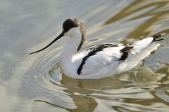 Pied avocet. Portrait of pied avocet swimming in the water Royalty Free Stock Photos