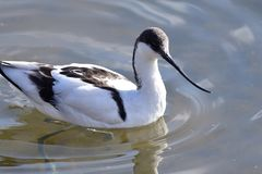 Pied avocet. Portrait of pied avocet swimming in the water Stock Photos