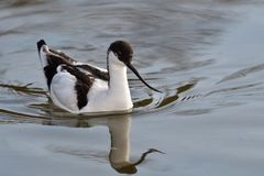 Pied avocet. Portrait of pied avocet swimming in the water Royalty Free Stock Image