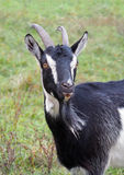 Portrait of pied domestic goat Royalty Free Stock Image