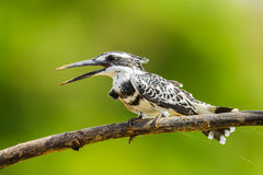 Portrait of Pied Kingfisher Royalty Free Stock Photos