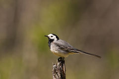 Portrait of pied wagtail Stock Photo