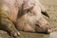 Portrait of a pig Stock Photos