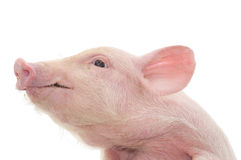 Portrait of a pig Royalty Free Stock Images