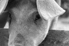 Portrait of a pig. Black and white Portrait of a pig in close up detail stock images