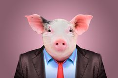 Portrait of a pig in a business suit. On a pink background royalty free stock image