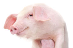 Portrait of a pig Royalty Free Stock Photo