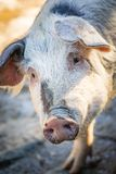 Portrait pig face closeup tilted Stock Photography