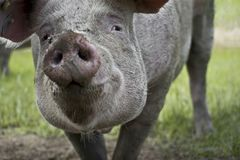 Portrait of a pig royalty free stock image