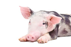 Portrait of the pig Stock Photography
