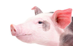 Portrait of a pig in a profile closeup Royalty Free Stock Photo