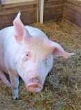 A portrait of a pig in a stable Stock Image