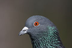 Portrait of a Pigeon Stock Photo