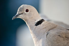 Portrait pigeon royalty free stock photography